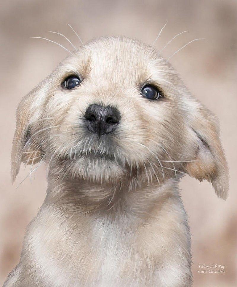 White lab puppies colorado