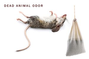 How To Get Rid Of Dead Mice Smell In Walls