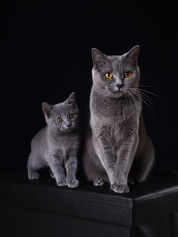 Chartreux Cat Breed Information Pictures Characteristics Facts
