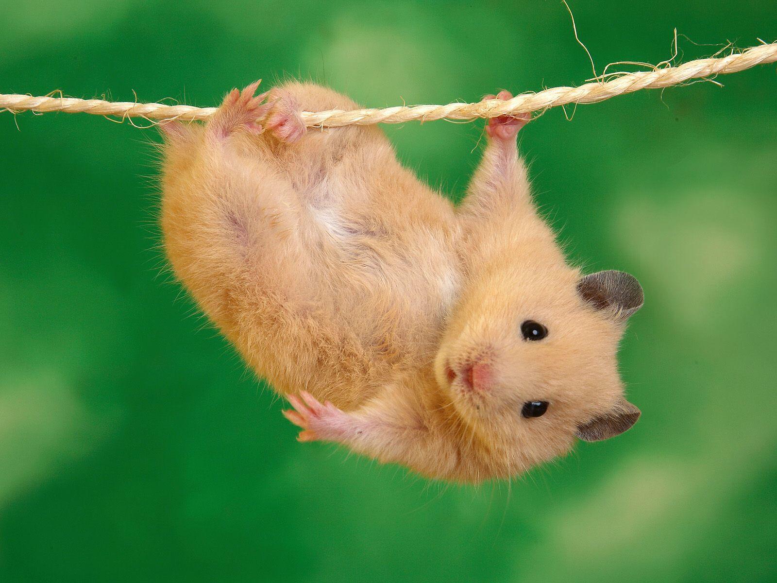 Rope Climb For Gymnastics Funny Animal Photos Cute Animal Photos Funny Hamsters