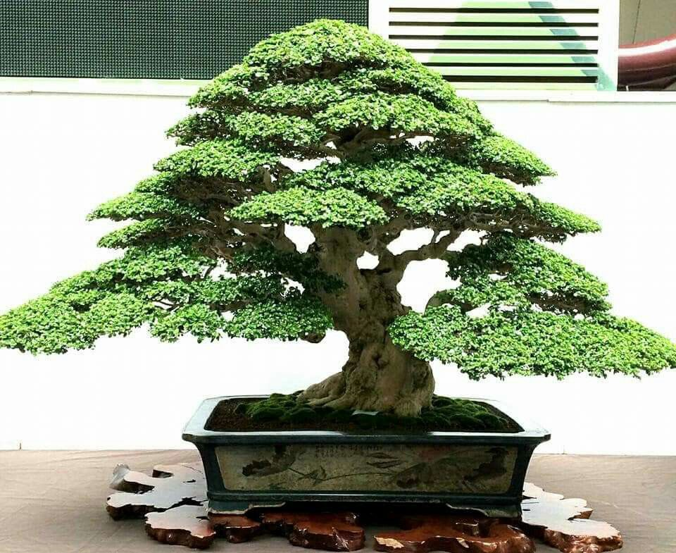 Soberbio Indoor Bonsai Tree Bonsai Tree Types Bonsai Tree