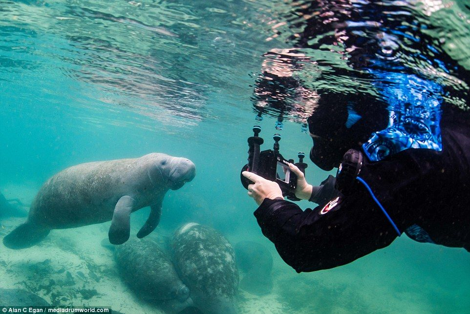 Manatees Loving The Attention Lavished On Them By Their Human Buddies Manatee Sea Cow Under The Sea