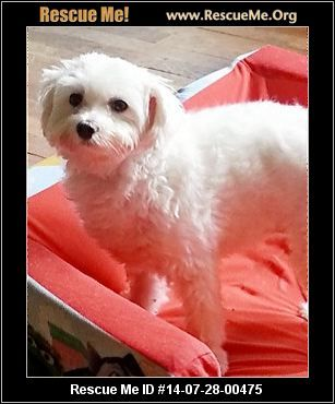 Maltese Rescue New Jersey Bichon Frise Bichon Adoption