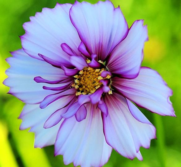 Cosmos flower  Puzzle flowers puzzle online for free