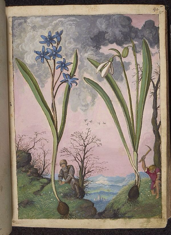 Galanthus and Ipheion, from De Materia Medica, a work on herbal medicine by Pedanius Dioscorides, 16th century edition. It depicts a wide range of plants against a backdrop of landscapes, often featuring populated scenes. Watercolour