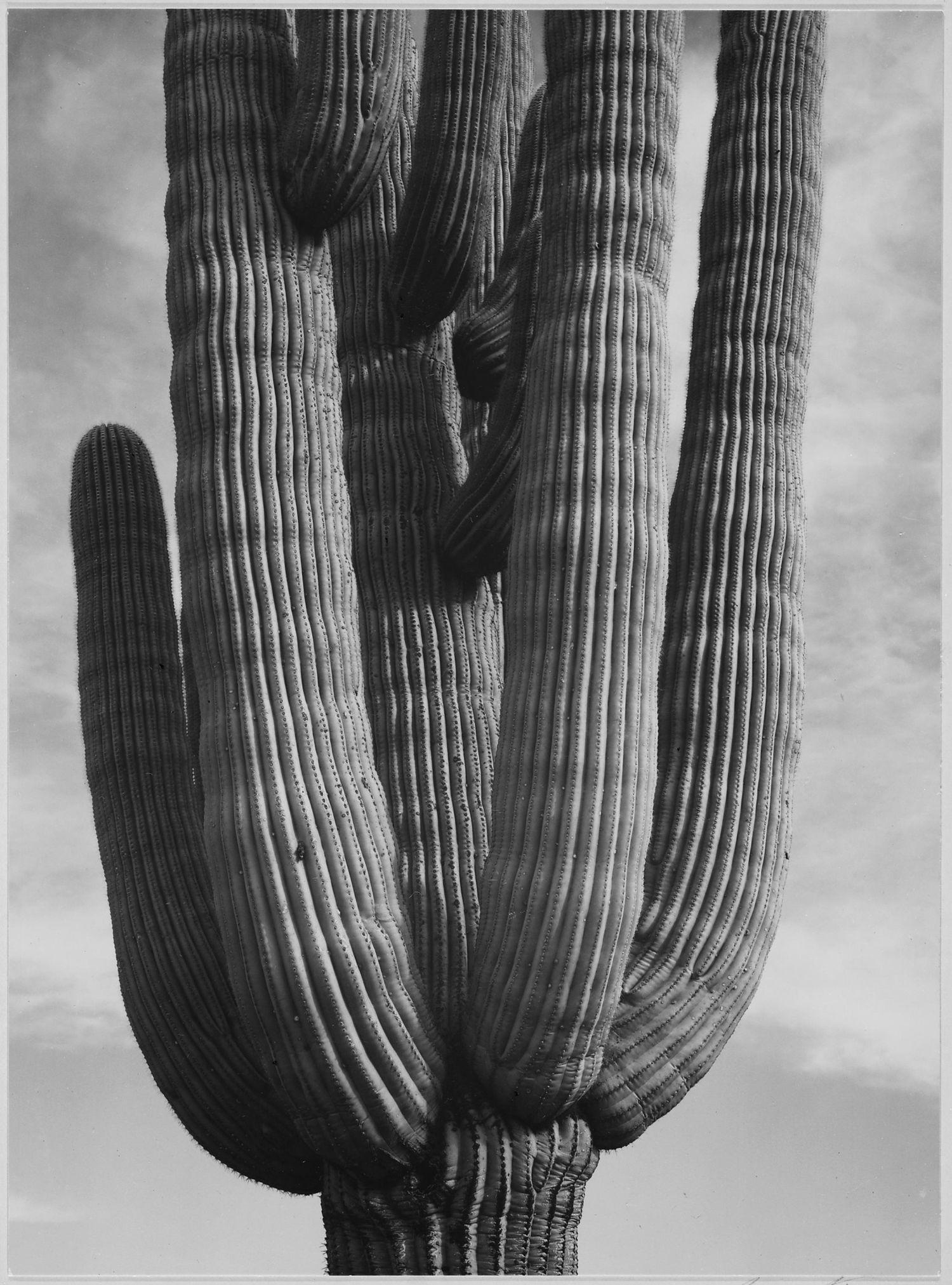 Cactus in Saguaro National Monument Arizona by Ansel Adams