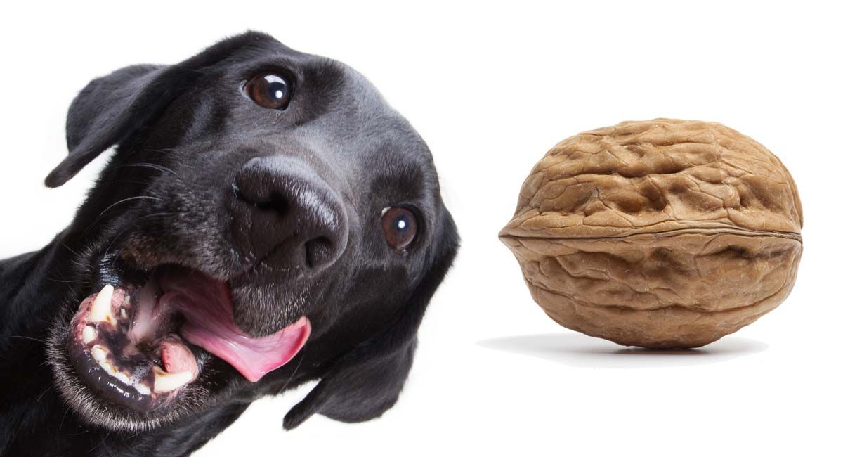 Can Dogs Eat Walnuts When Are Walnuts Toxic To Dogs And Why Can Dogs Eat Dog Eating Dogs