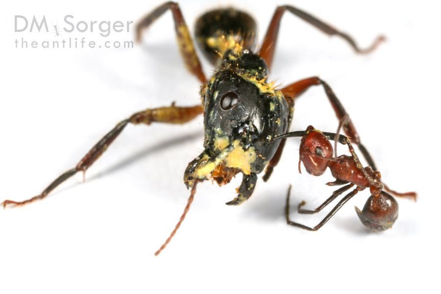 Warrior worker ants that explode, covering their enemies with guts