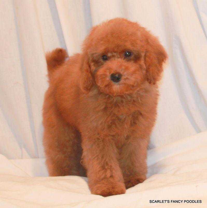 Chantilly Czar S Baby Miniature Apricot Teddy Bear Poodle