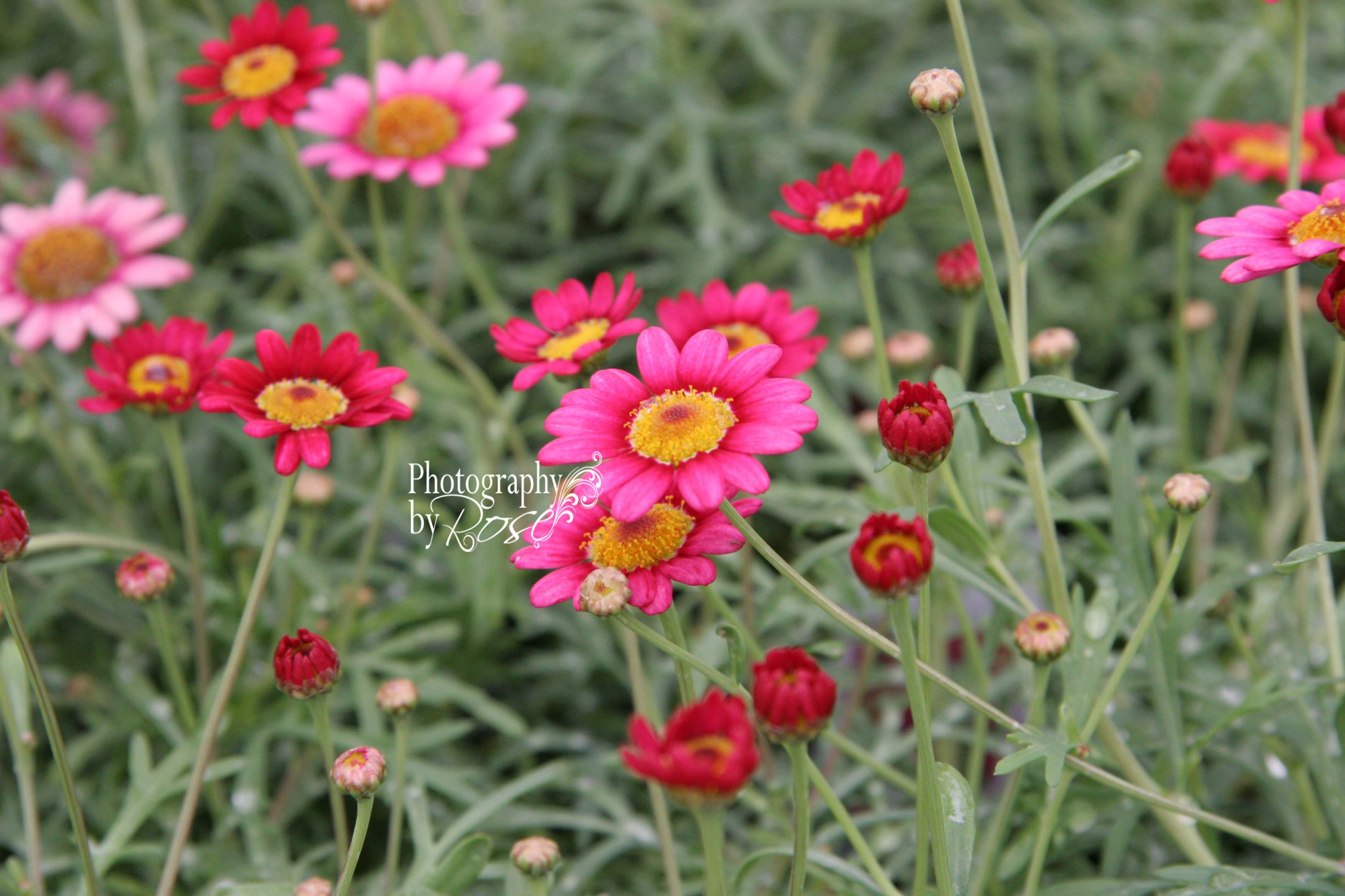 floral art\ photography \ painted daisies\  flowers