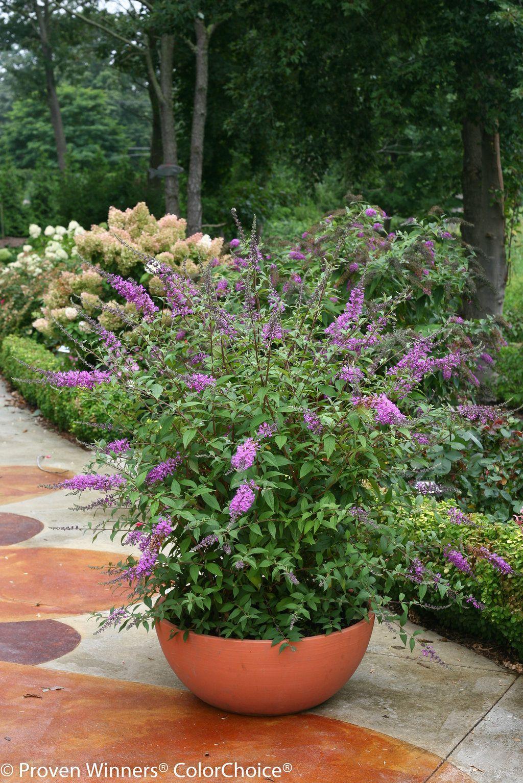 Buddleia Inspired Violet Butterfly Bush Zones 5 9 Huge Purple Flowers Fragrant Dark Purple Flowers Shine Against The Glossy Dark Butterfly Bush Dark Purple Flowers Purple Plants