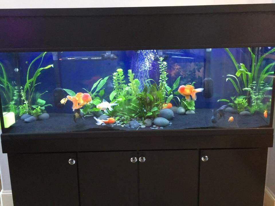 100 gallon gold fish tank | Aquarium | Goldfish tank