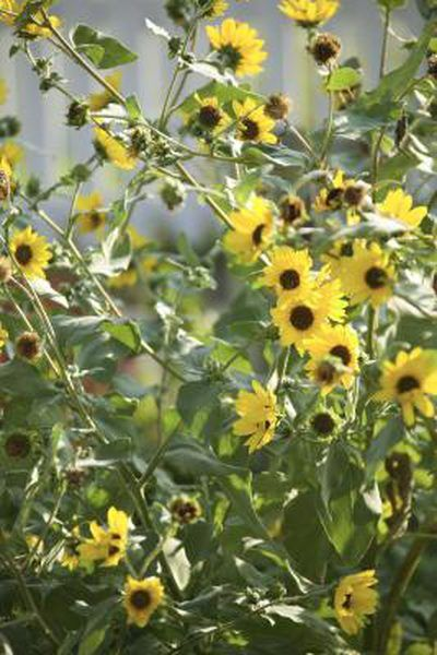 Black eyed susan vine pests gardeners delight pinterest black the black eyed susan vine thunbergia alata produces small yellow flowers with black mightylinksfo