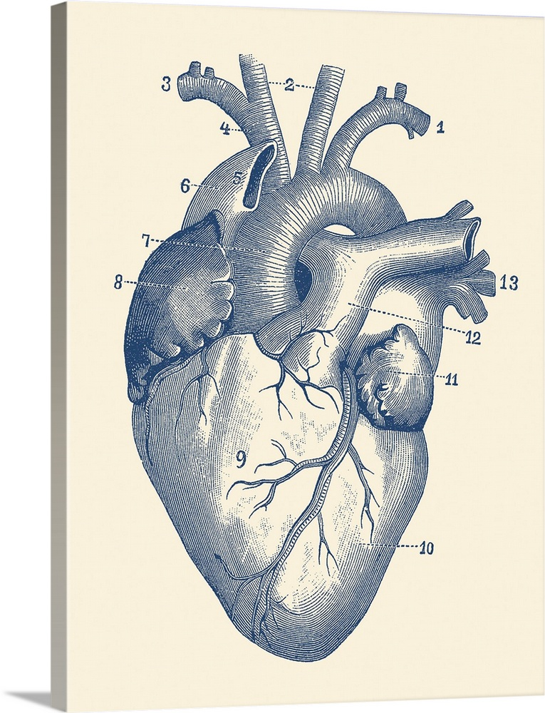 Vintage Anatomy Print Of The Human Heart With Veins Visible In 2021 Vintage Medical Art Human Heart Art Human Heart Diagram