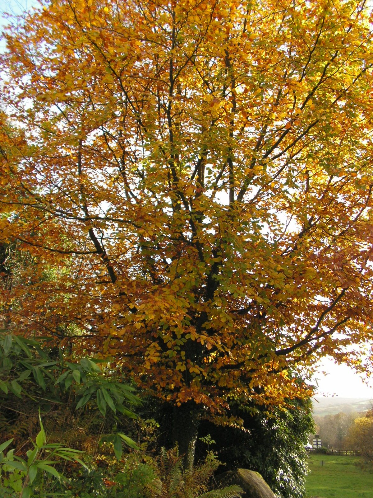 Golden Tree in Autumn, Dartmoor.