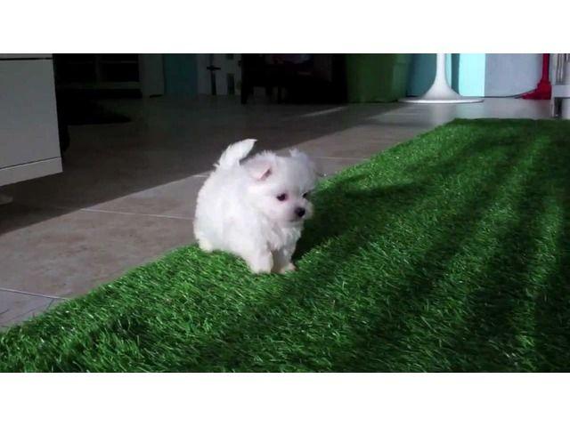 Happy Healthy Teacup 2 Maltese Puppies Maltese Puppies For