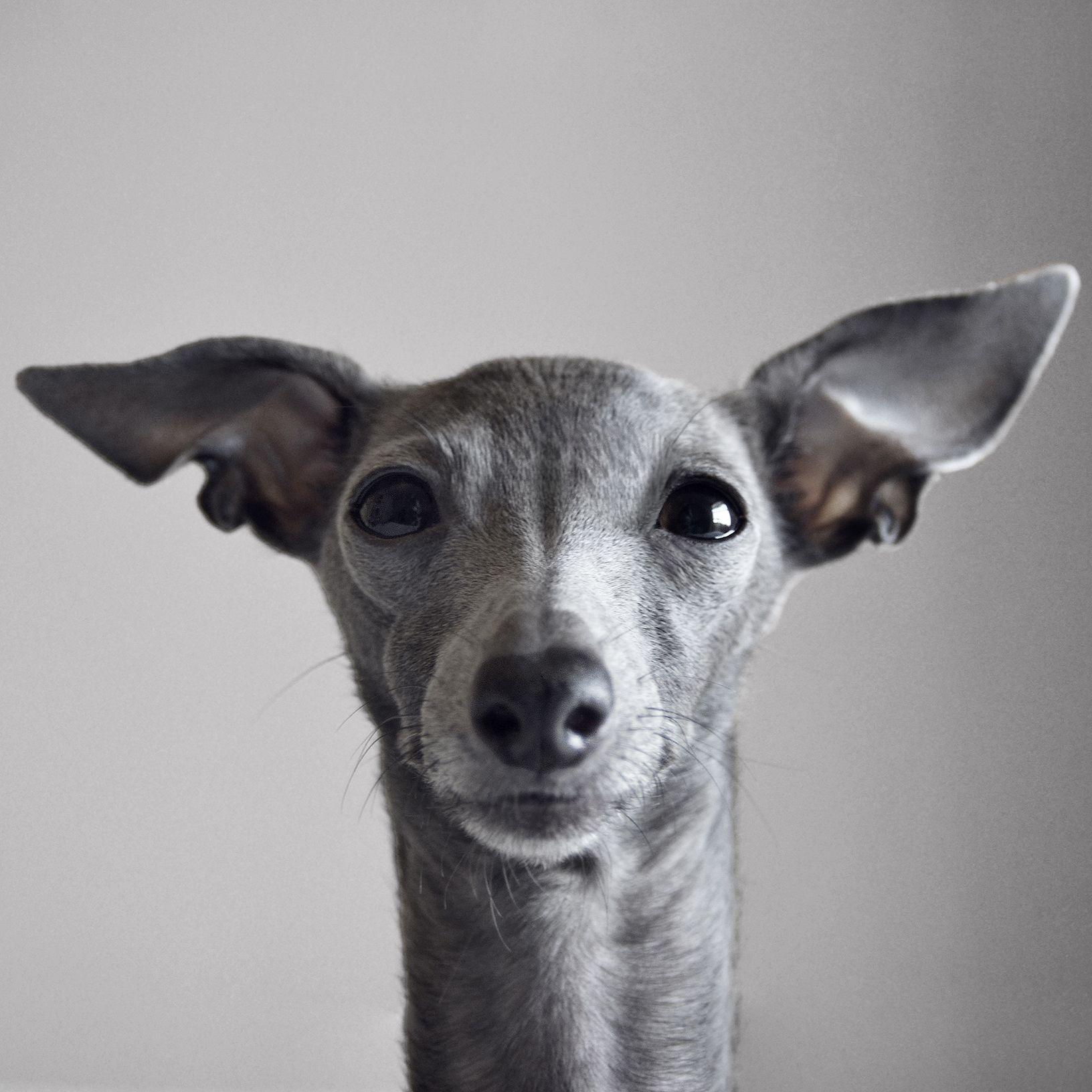 Y Face Dog Mommy Italian Greyhound Dog Photos
