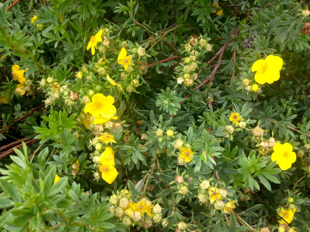Shrub With Bright Yellow Flowers Identification Tend Your Garden