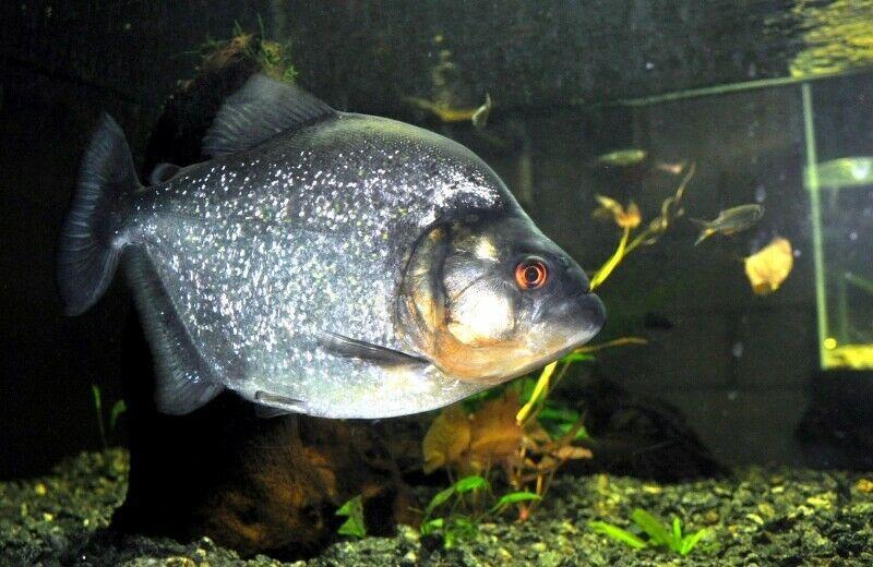 Pin On Piranhas