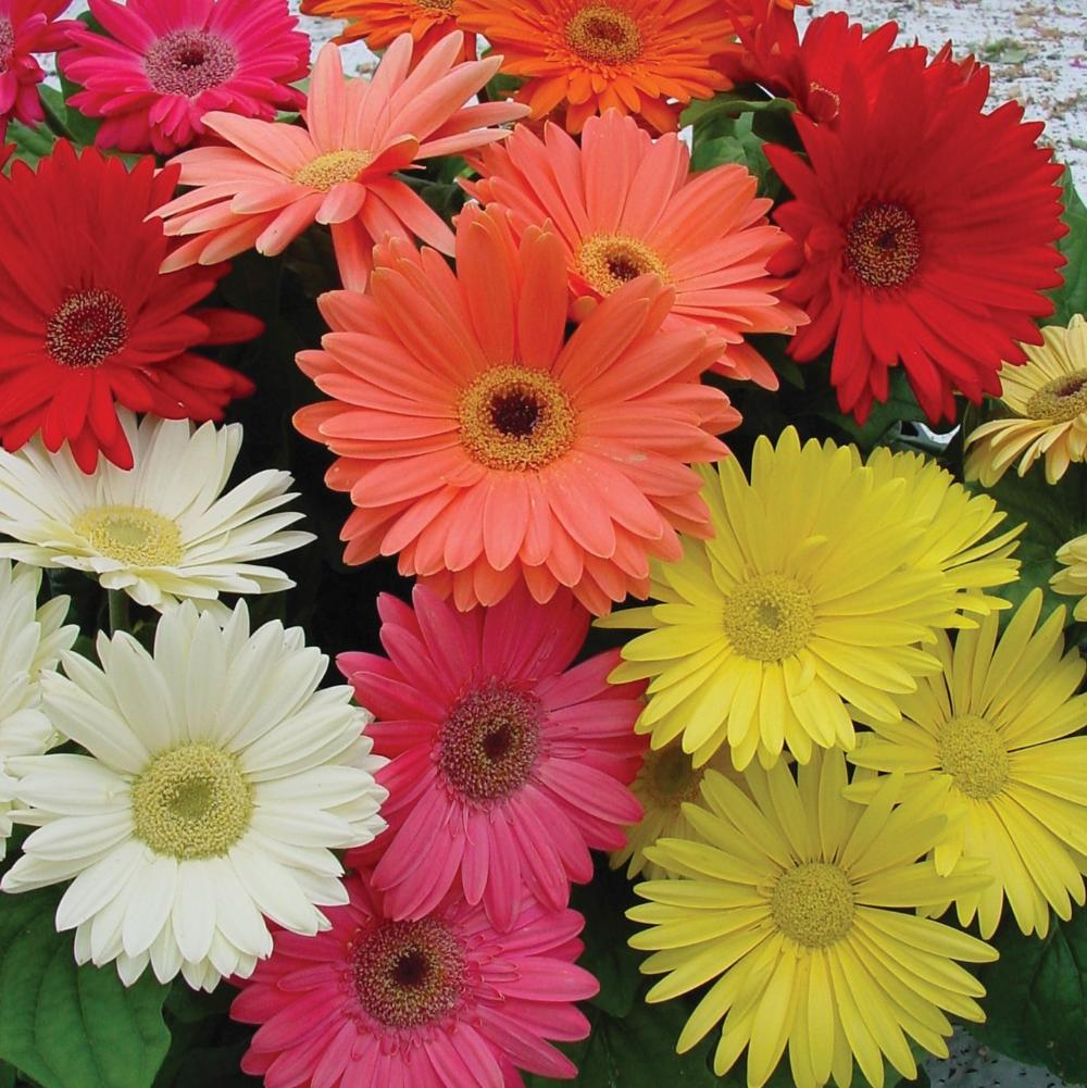 Gerbera Seeds Gerbera Daisy Flower Seed Mix In 2020 Gerbera Flower Flower Seeds Daisy Flower