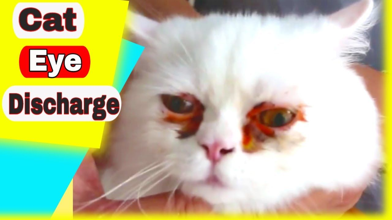 7 Reasons Why Your Cats Eyes Are Leaking In 2020 Cat Eye Discharge Watery Eyes Allergy Eyes