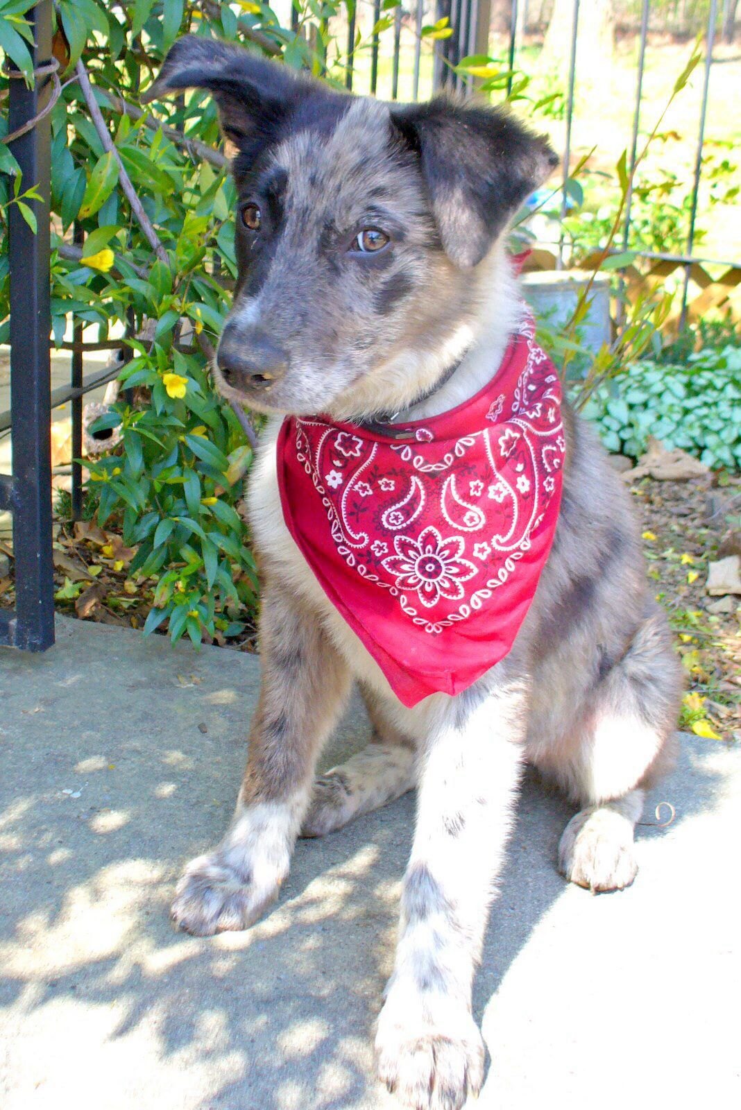 Catahoula mix puppy, Quigley- he wants to be a cowboy