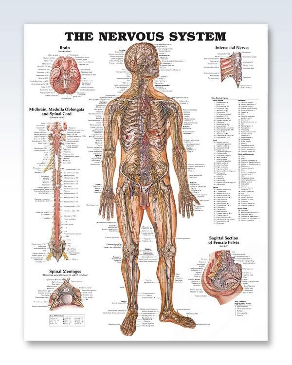 The Nervous System 20x26 Anatomy Poster Products Pinterest
