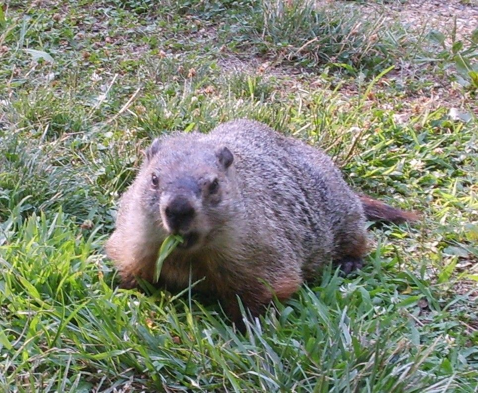 Getting rid of groundhogs groundhog deterrents and