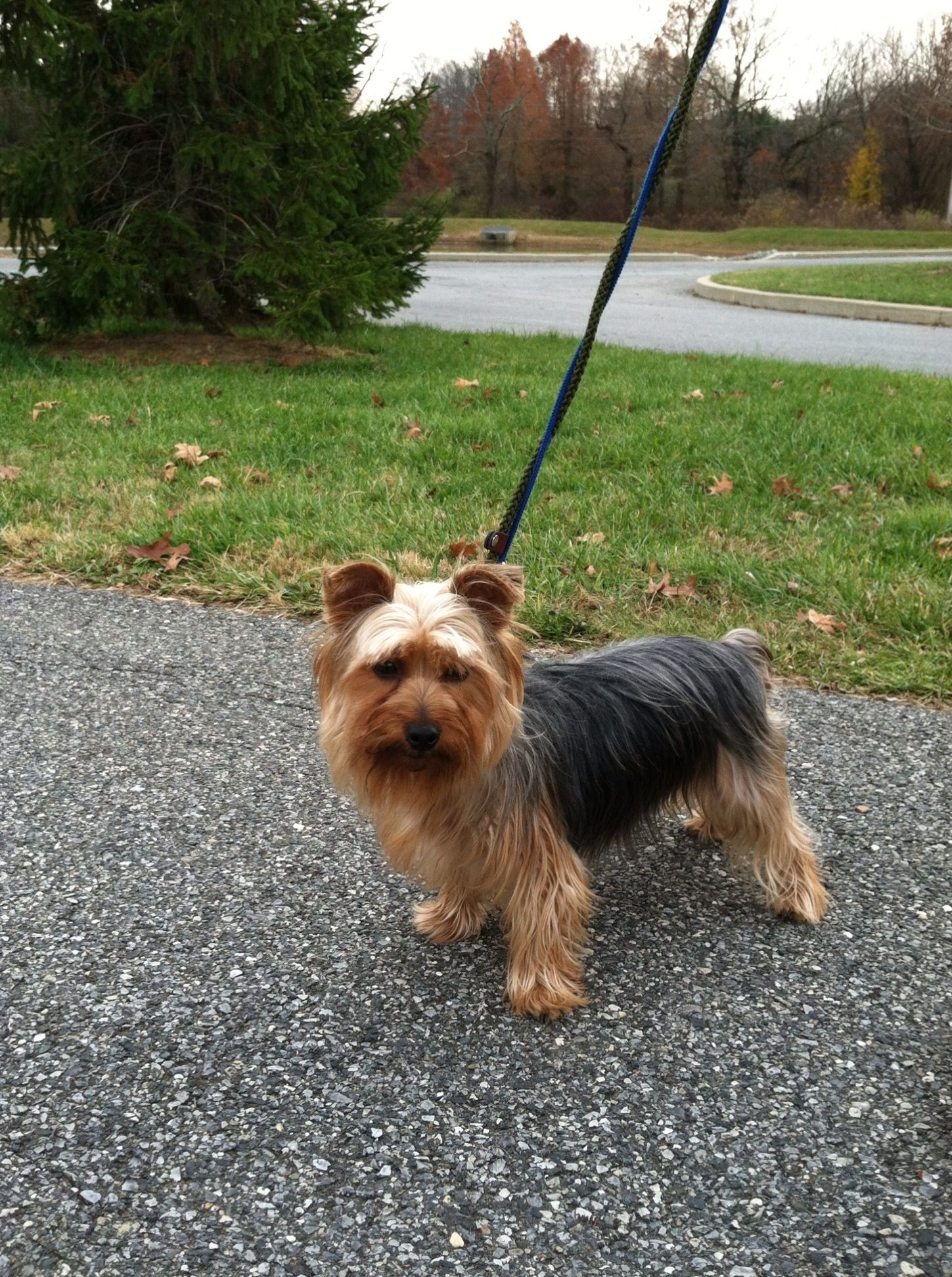 Louie Is Up For Adoption Through Silky Terrier Rescue With