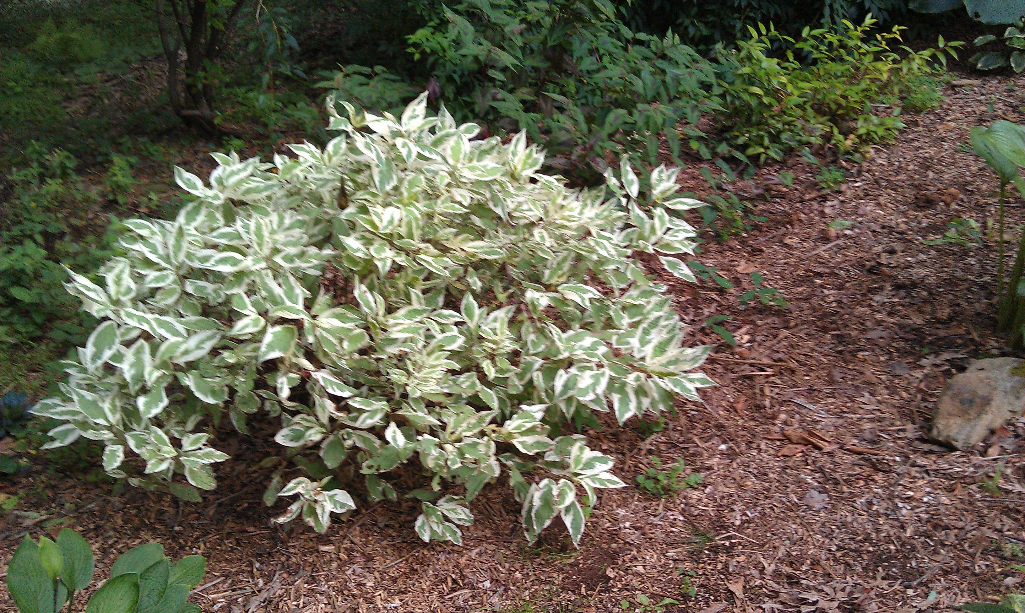 Variegated dogwood shrub in my garden | Garden Beauties ... Variegated Dogwood Tree