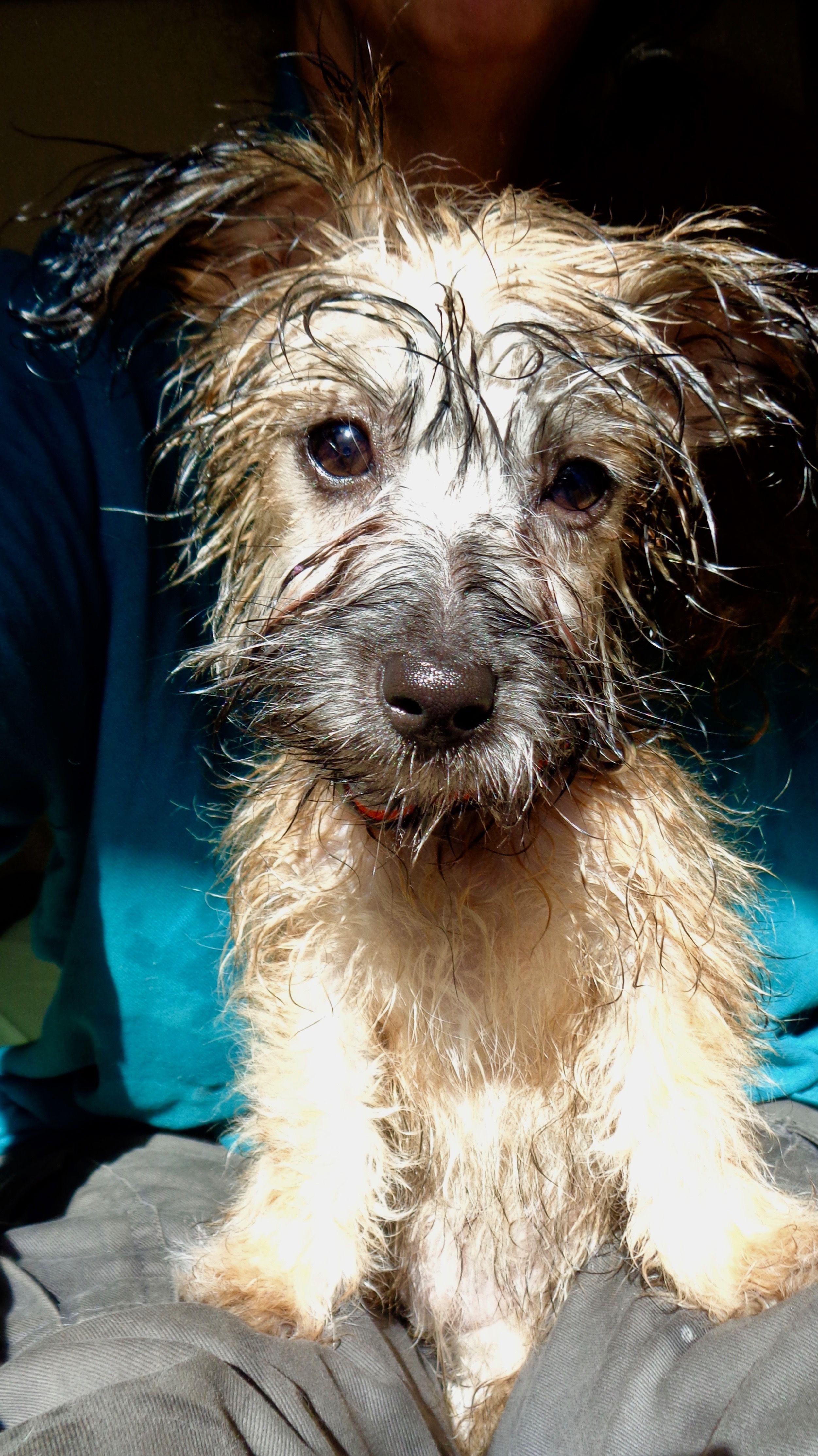 Chi Poo Jack Doodle Wet Doodle After Bath Animals