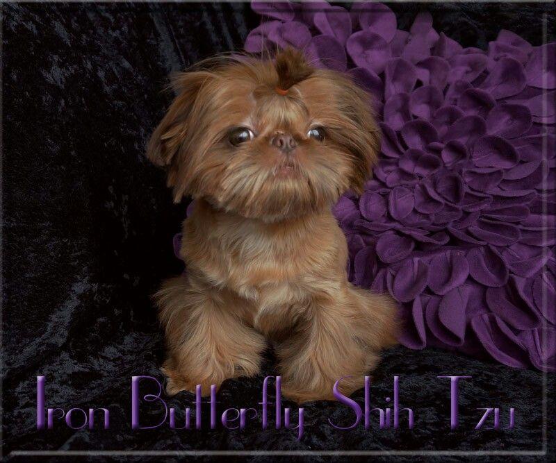 Shih Tzu Puppies For Sale Near Maryland Ideas