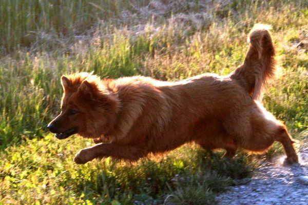 Rennen Rennen Rennen Harzer Fuchs Altdeutscher Schäferhund