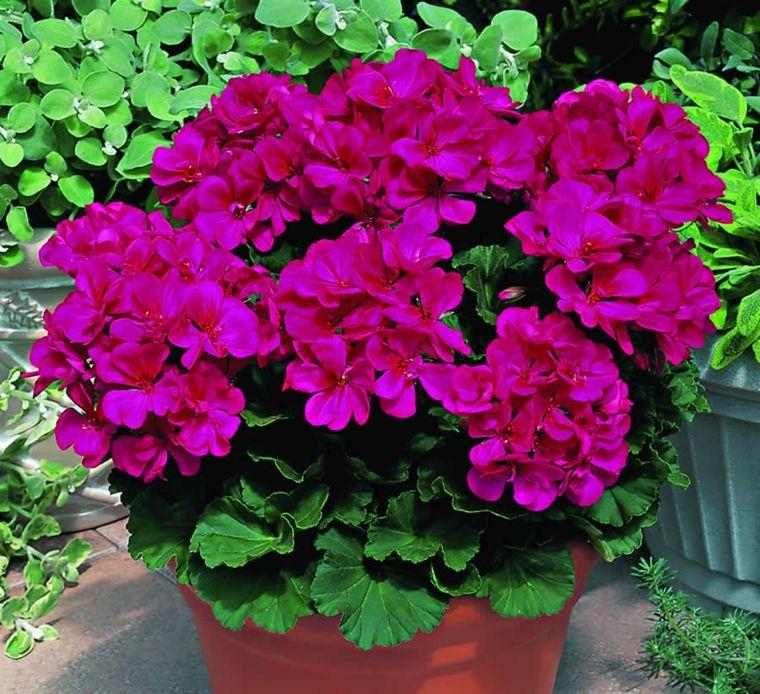 estupendo geranio de color rosa | geranium | pinterest | geranios