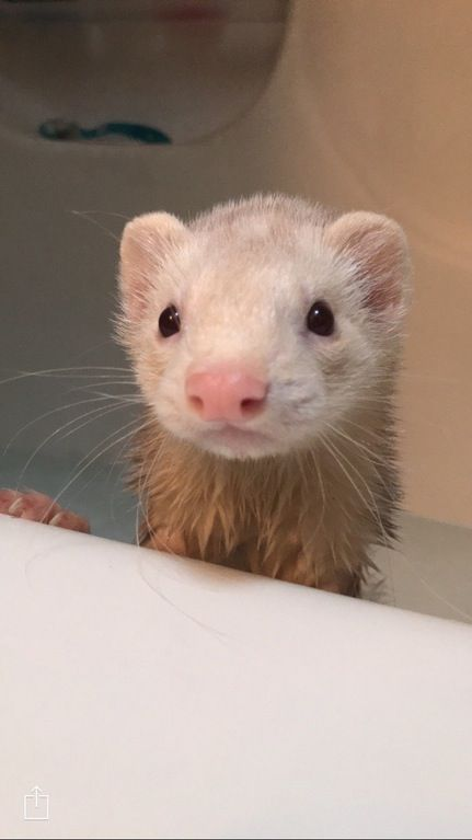 Tyson (newest member) gets his first bath : ferrets