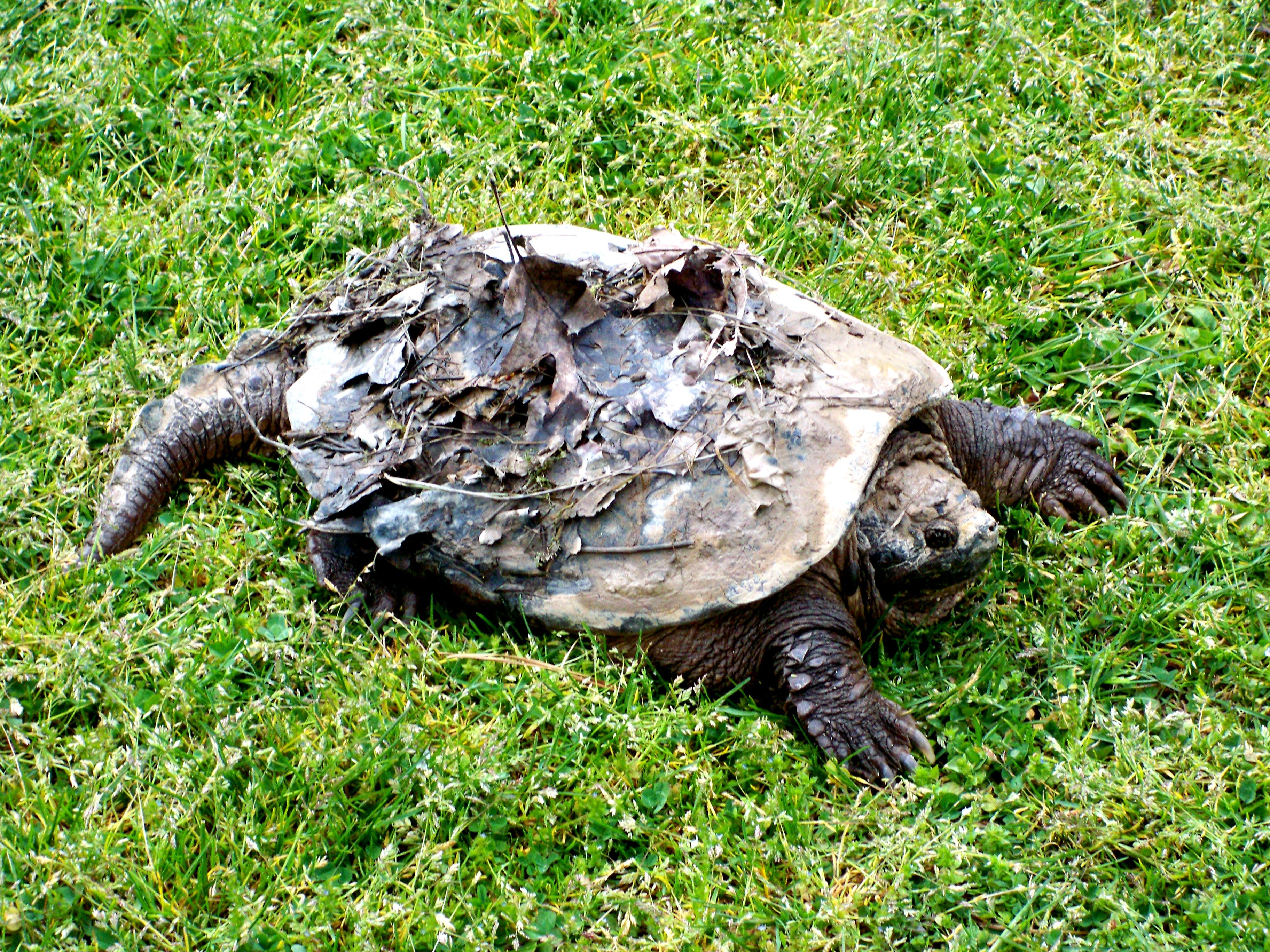 A Big Snapping Turtle We Found Roaming The Campground Today 5 1