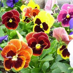 Deadheading In The Church Pansies Flowers Edible Flowers Flowers