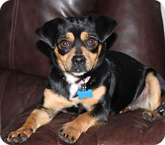 Allentown Pa Dachshund Chihuahua Mix Meet Miss Tilly Tea A