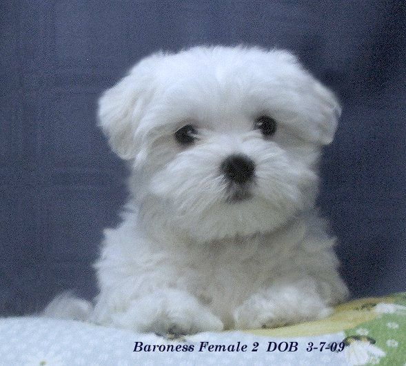 maltese puppies I love him! Hunde