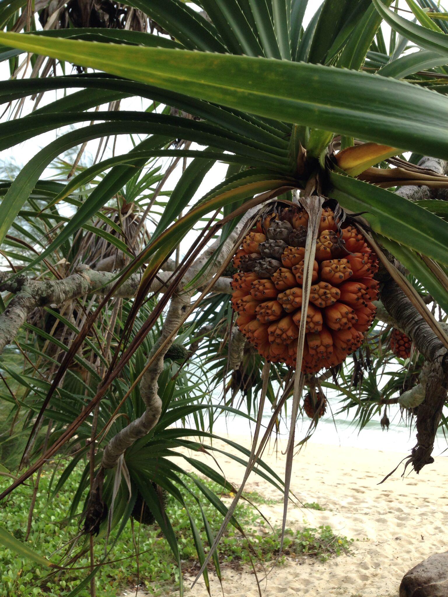 Una piña de playa