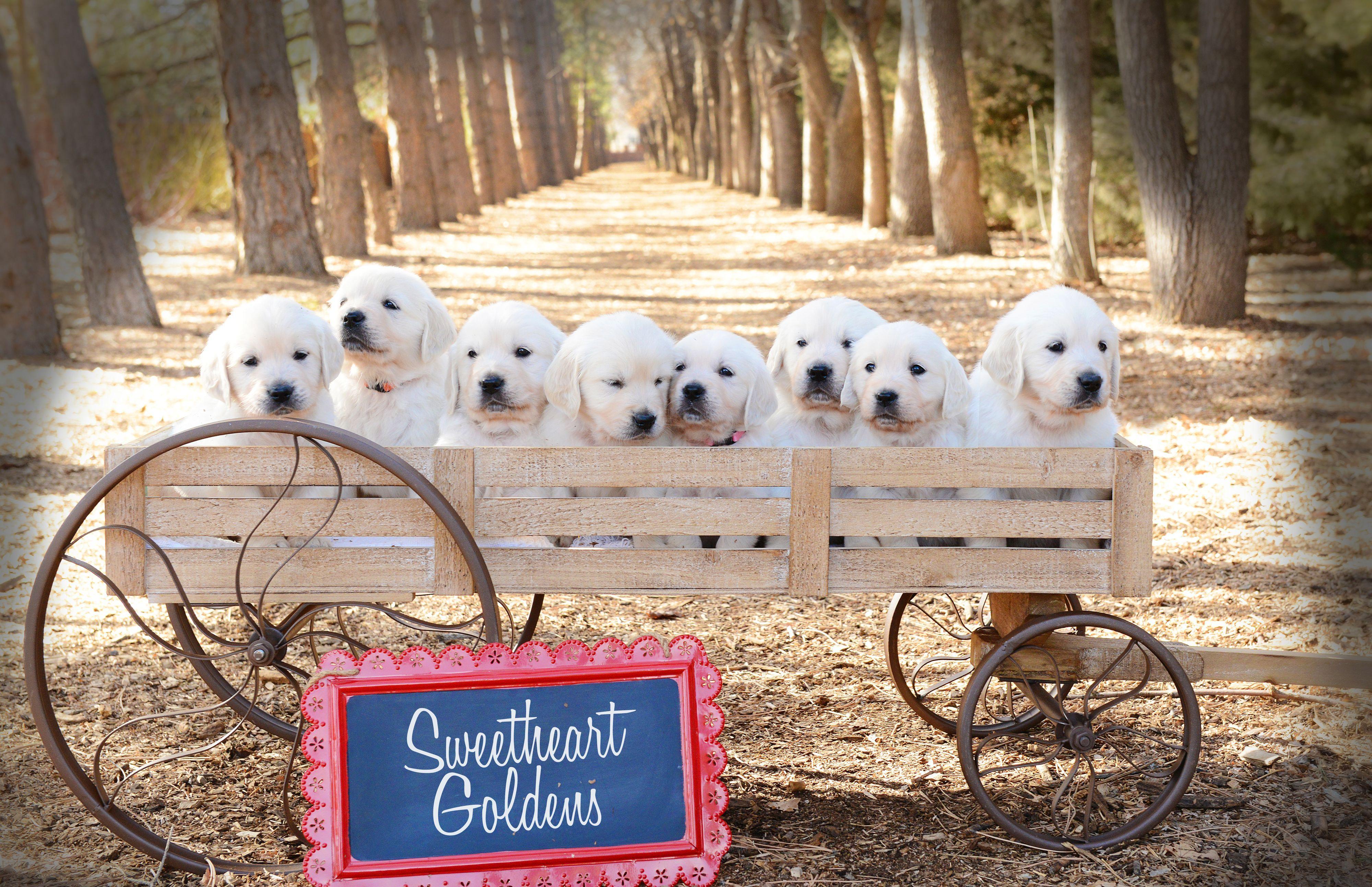 8 English Cream Golden Retriever Puppies Sweetheartgoldens Com Retriever Puppy Golden Retriever Puppies