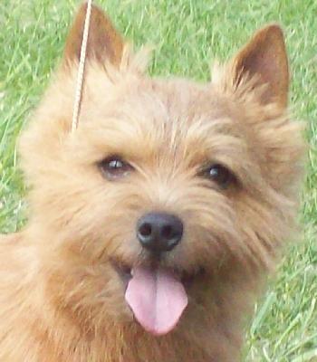 Norwich Terrier just like Travis! | Norwich terrier ...