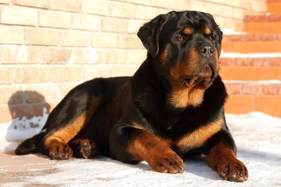 Rottweiler From Your Friends At Phoenix Dog In Home Dog Training
