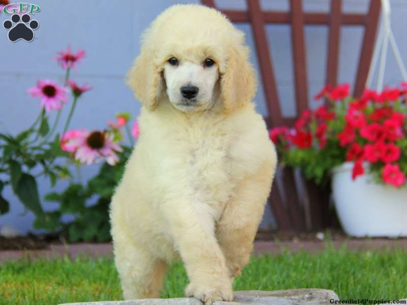 Milo standard poodle puppy for sale in pennsylvania
