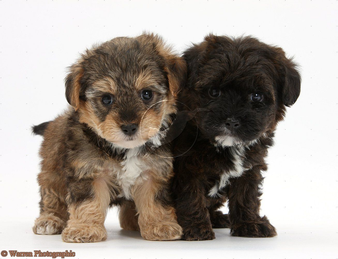yorkiepoo dogs cute Yorkie poo puppies, Yorkie poo