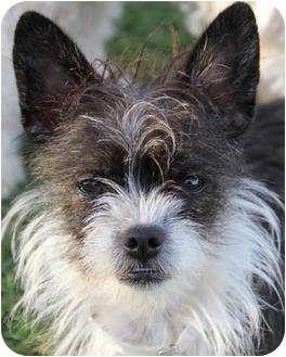 Boston Terrier Shih Tzu Mix Dog For Adoption In San Pedro