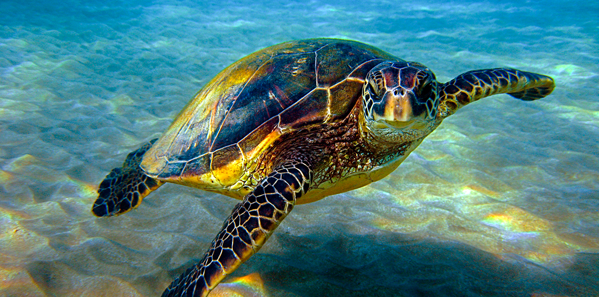 Image Result For Images Sea Turtles In Water In 2020 Sea Turtle Sea Turtle Species Turtle
