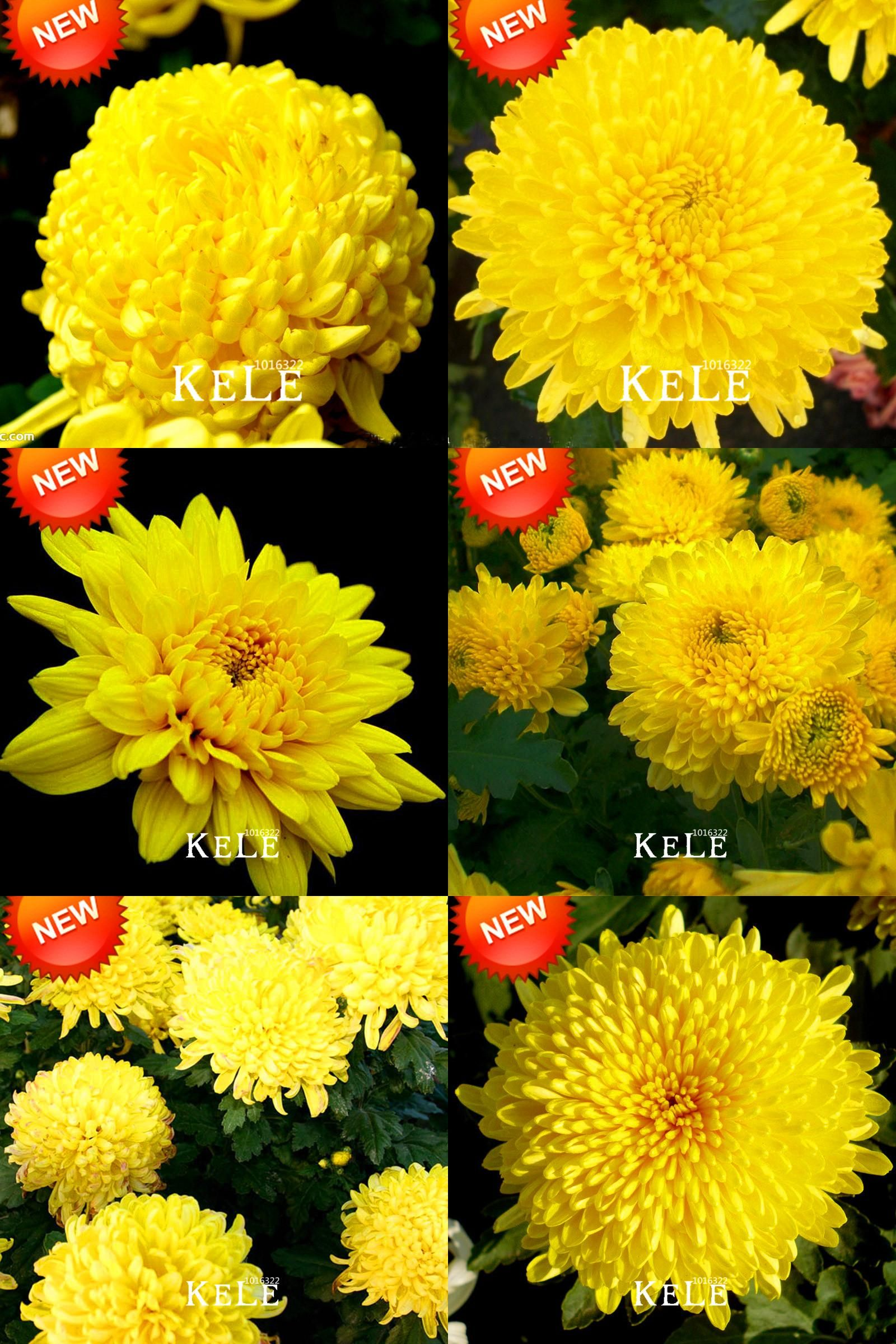 Visit to buy new seeds potted flower yellow chrysanthemum