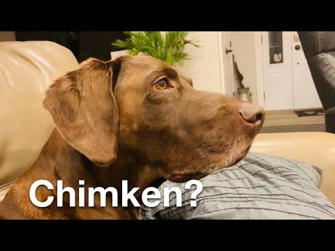 German Shorthaired Pointer Dog | Confused by Chicken Sound! - YouTube