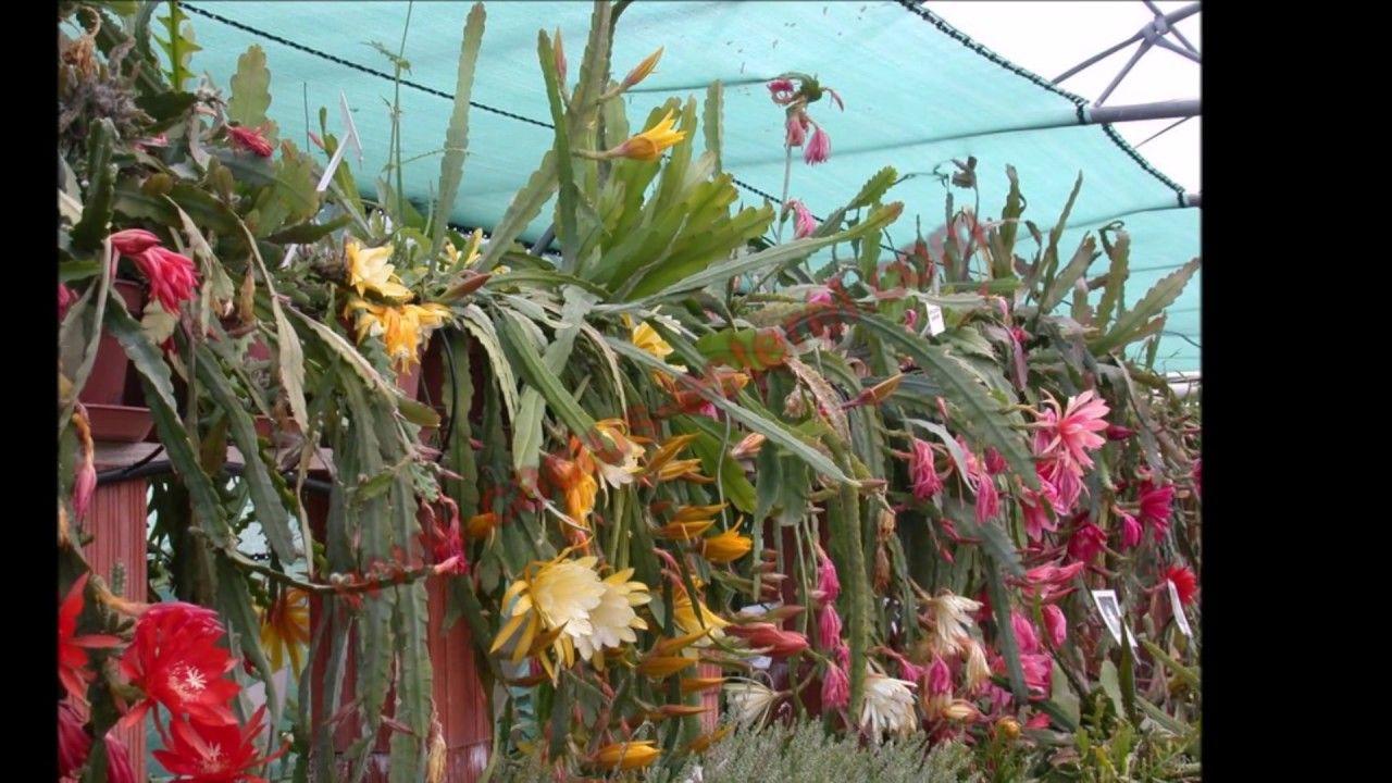 cutting, épiphyllum ackermanii bouture